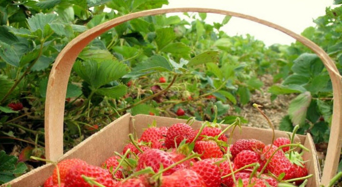 Kebun Strawberry ciwidey
