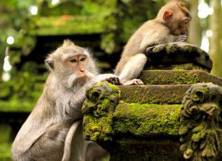 monyet sangeh bali